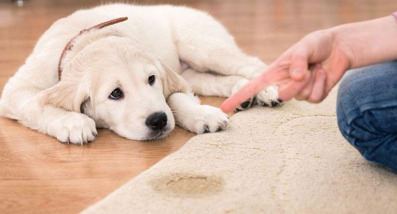 پاک کردن لکه ادرار حیوانات خانگی